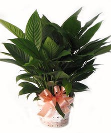Peace Lily For Sale Salisbury (MD) Same-day Delivery - Kitty's Flowers